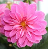 Dahlia. One of my favorite flowers Royalty Free Stock Images