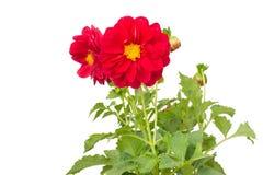 Dahlia stock afbeelding