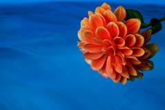 Dahlia op een blauwe achtergrond Royalty-vrije Stock Afbeelding