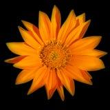 Dahlia orange photographie stock