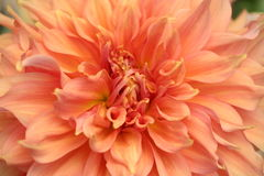 Dahlia orange Images stock