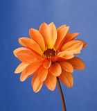 Dahlia orange Photographie stock libre de droits