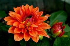 Dahlia. Orange Dahlia on a black background Royalty Free Stock Images