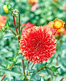 Dahlias with stem, orange colored, meadow flowers. Dahlias with stems orange colored , meadow with flowers, blossom, bokeh. Floral beautiful summer colorful Stock Images