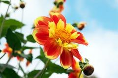 Dahlia orange et jaune Images libres de droits