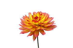 Dahlia orange et jaune Photos libres de droits
