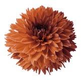 Dahlia orange Fleurissez sur un fond d'isolement par blanc avec le chemin de coupure Pour la conception closeup Photo stock