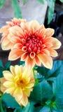 Dahlia orange flowers i Royalty Free Stock Photography