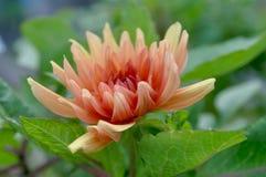 Dahlia `Orange Glory`. Orange Dahlia flower in the garden Royalty Free Stock Photos