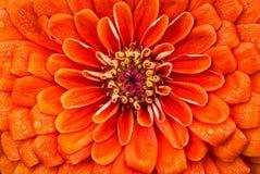 Dahlia Orange in piena fioritura Immagini Stock Libere da Diritti