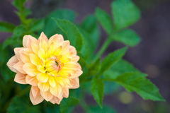 Dahlia orange and yellow flower in garden full bloom closeup Stock Photos