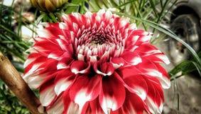 Dahlia parbladig dahlia royaltyfri bild