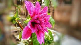 Dahlia parbladig dahlia som växer den rosa blomman royaltyfri bild