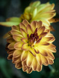 Dahlia Peaches en room Stock Fotografie