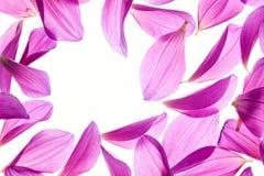 Dahlia petal Stock Image