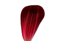 Dahlia petal Royalty Free Stock Image