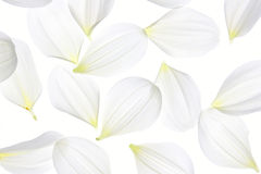 Dahlia petals Stock Photos