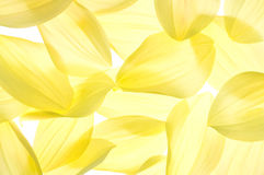 Dahlia petals. Yellow and Lemon Coloured Dahlia Petals on White Background Stock Photography
