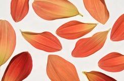 Dahlia petals Royalty Free Stock Photography