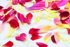 Dahlia petals flowers . Love theme of flower design by using dark red Dahlias set on white background stock images