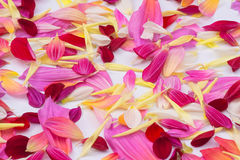 Dahlia petals in mix color . Dahlia flower spread pattern in colorful petals on white background ,present red,pink,purple.white and yellow stock photo