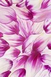 Dahlia petals Stock Photo