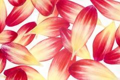 Dahlia petals Stock Image