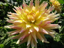 Dahlia royalty free stock image