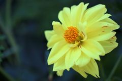 Dahlia. Photographed in a backyard in the pot in bright sunlight Stock Images