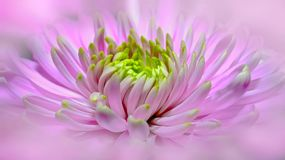 Dahlia, Pink, Close, Pano, Blossom Stock Photo