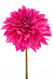 Dahlia pink, purple colored flower with green stem Royalty Free Stock Image