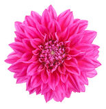 Dahlia, pink colored flower head on white background Royalty Free Stock Image