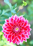 Dahlias with stem, pink colored. Meadow flowers. Dahlias with stems pink colored , meadow with flowers, blossom, bokeh. Floral beautiful summer colorful, spring Stock Photo