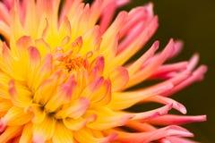 Dahlia Pink e giallo Immagini Stock