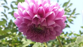 Dahlia pink flower Royalty Free Stock Photography