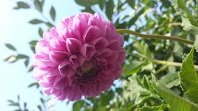 Dahlia pink flower Royalty Free Stock Photos