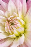 Dahlia'Pink Princess' Royalty Free Stock Image