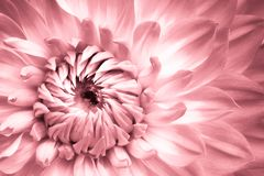 Dahlia pink purple flower macro photo. Picture in color emphasizing the bright pink and highlights of the intricate geometry. Dahlia pink purple flower macro stock image