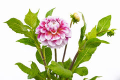 Dahlia of pink and white colors with buds on white background Royalty Free Stock Photo