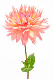 Dahlia, pink, yellow colored flower head with green stem and leaf Stock Image