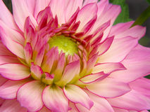 Dahlia Pinnata. Macro of pink dahlia Royalty Free Stock Photo