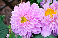 Dahlia pinnata Cav Stock Images