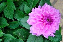 Dahlia pinnata Cav Stock Image