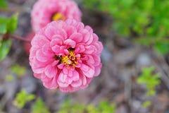 Dahlia pinnata Royalty Free Stock Image
