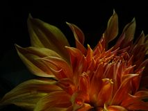 Dahlia Pinnata die nationale Blume von Mexiko stockfotografie
