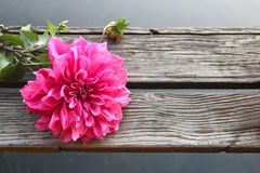 Dahlia on plank in the morning Stock Photo