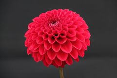 Dahlia Plant. Royalty Free Stock Photo