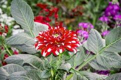 Dahlia plant Royalty Free Stock Image