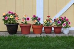 Dahlia planter row Royalty Free Stock Photos