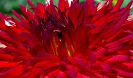 Dahlia With Pollen Up Close Stockbilder